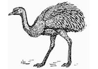 rhea-autruche-t13278